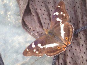 gabriels-butterfly